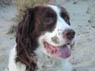Corky Kelly, Male, 11 Years Old, English Springer Spaniel