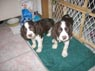 Mozart, Male, and Haendel, Female, 2 1/2 Months Old (Brother and Sister!), English Springer Spaniel