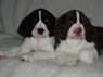 Jack & Ruby, M & F, 2 Months Old, English Springer Spaniel