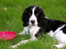 Magnolia Brooke, Female, 5 Months Old, English Springer Spaniel