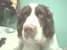 Gauge, Male, 2 Years Old, English Springer Spaniel