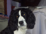 Toby, Male, 5 Years Old, English Springer Spaniel