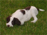 Kingston Kelly, M, 8 Weeks Old, English Springer Spaniel